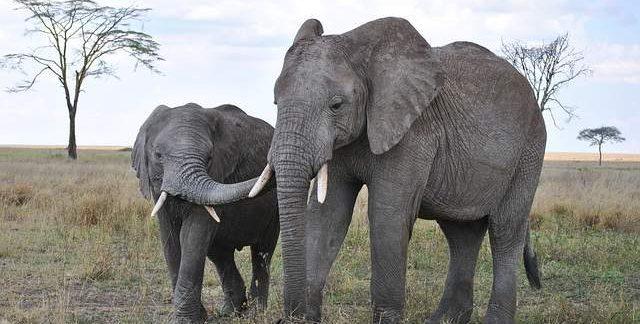 Elefanti nel parco Serengeti in Tanzania