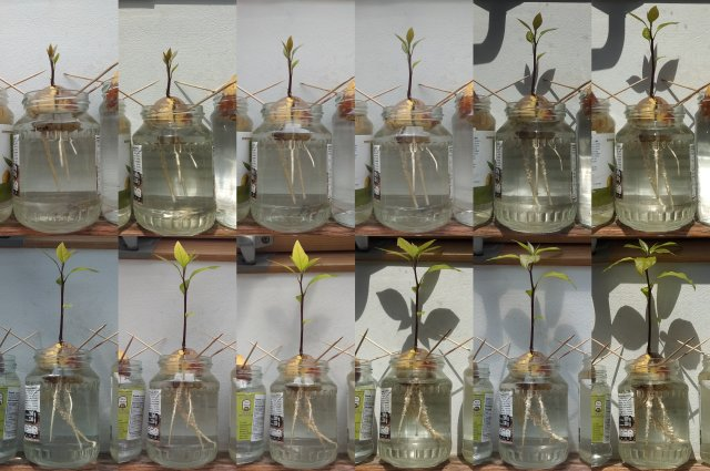 Crescita pianta di avocado